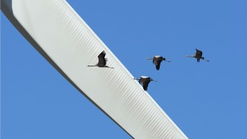Family of cranes flies through Klim Wind Farm. Photo: Henrik Haaning Nielsen