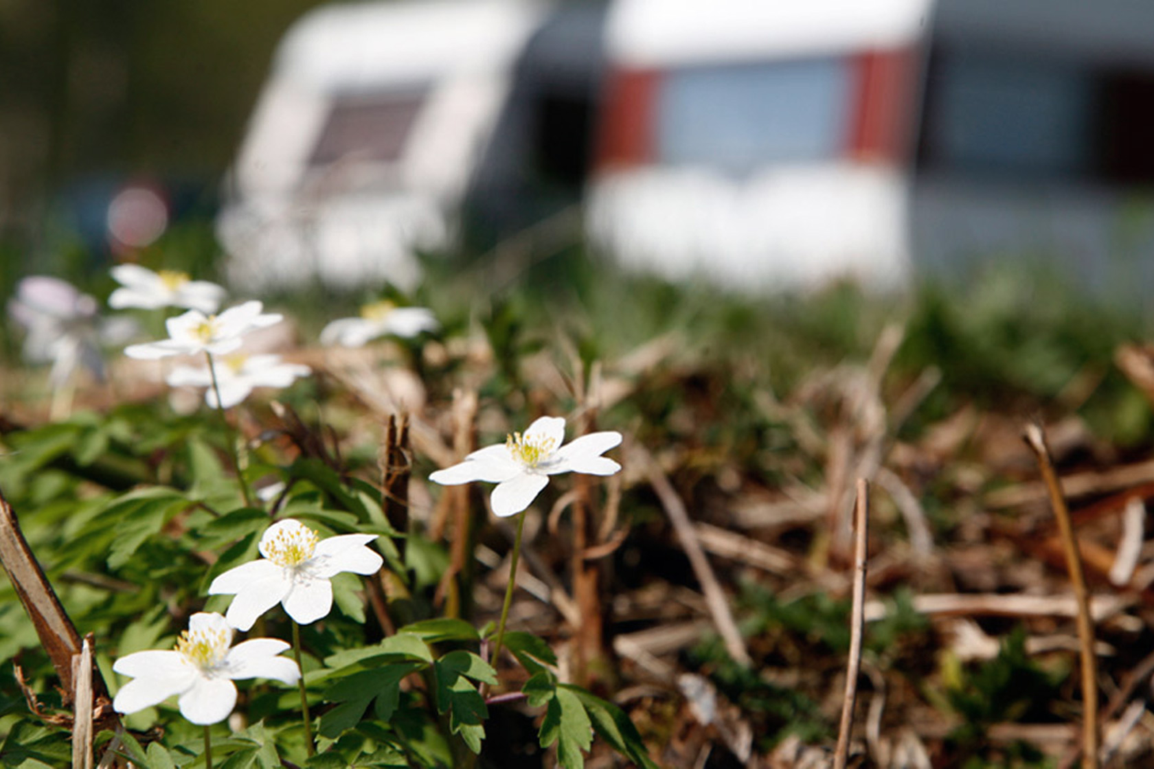 Spring flowers with two caravans in the background